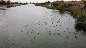 Wild ducks. Air view of a colony of  on the Dambovita River stock video footage