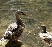 Wild ducks. Near the lake shore Royalty Free Stock Image