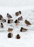 Wild ducks in winter Royalty Free Stock Photos
