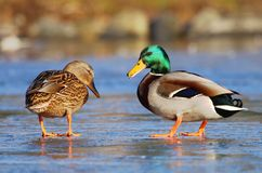 Wild ducks in winter Stock Photos