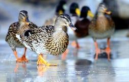 Wild  ducks winter Royalty Free Stock Image