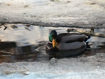 Wild ducks in winter on a frozen river royalty free stock images