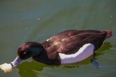 Wild duckt. Stock Image