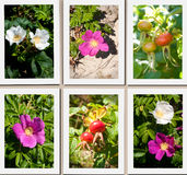 Wild dune rose collage stock photos