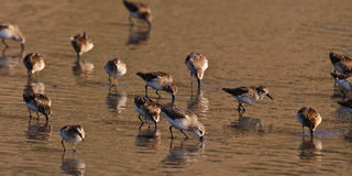 Wild Dunlin Royalty Free Stock Images