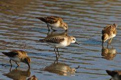 Wild Dunlin feeding Stock Photo