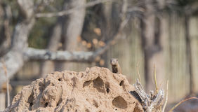 Wild Dwarf Mongoose (Helogale parvula) on Termite Mound in Africa. Wild Dwarf Mongoose on Termite Mound in Africa Royalty Free Stock Photography