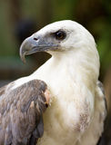 Wild Eagle Royalty Free Stock Image
