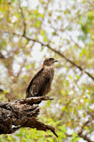 Wild eagle Royalty Free Stock Photos