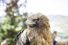 Wild eagle in captivity Royalty Free Stock Photos