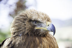 Wild eagle in captivity Stock Photos
