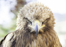 Wild eagle in captivity Stock Images