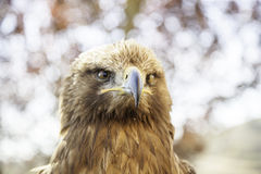 Wild eagle in captivity Royalty Free Stock Photo
