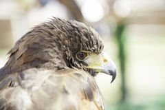 Wild eagle in captivity Royalty Free Stock Photography