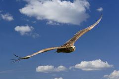 Wild eagle in flight Royalty Free Stock Image