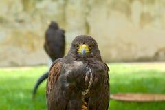Wild eagle Stock Image