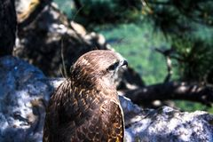 Wild eagle sitting on a stone stock image