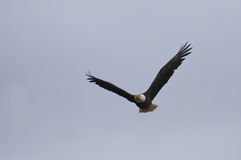 Wild eagle in the sky Royalty Free Stock Photos