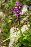 Wild Early purple orchid plant – Orchis mascula Royalty Free Stock Image