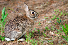 Wild eastern cottontail rabbit, Sylvilagus floridanus, in forest Royalty Free Stock Images