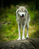 Wild, Eastern Gray Timber Wolf in Natural Habitat Royalty Free Stock Photo