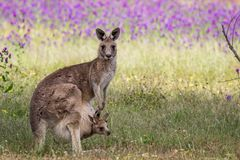 Wild Eastern Grey Kangaroo Mother and Joey, Woodlands Park, Victoria, Australia, November 2017. Macropus giganteus, Patterson`s Curse royalty free stock photography