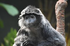 Gorgeous Face of an Ebony Langur Monkey in the Wild Stock Photo