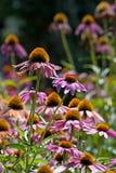 Wild Econesia Purple Cone Flowers Stock Photo