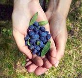 Wild edible berries in the girl`s hands. Honeysuckle, Altai Stock Photo