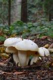 Wild, edible Gold flecked woodwax mushrooms Stock Photos