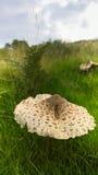 Wild Edible Mushroom Stock Photography