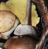 Wild edible mushrooms Stock Photography