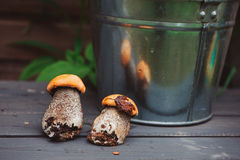 Wild edible orange cap boletus mushrooms on wooden bench Royalty Free Stock Photos