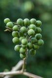 Wild Eggplant Stock Photo