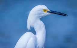 Wild Egret on the Atlantic Ocean, Florida, USA Stock Photo
