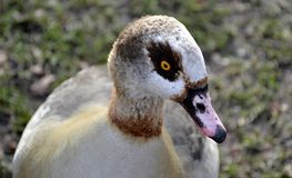 Wild Egyptian duck. Detail of wild Egyptian duck Stock Image
