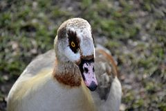 Wild Egyptian duck. Detail of wild Egyptian duck Stock Photos