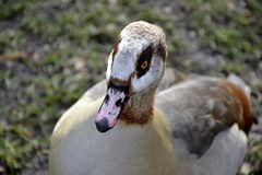 Wild Egyptian duck. Detail of wild Egyptian duck Royalty Free Stock Image
