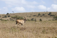 Wild eland Royalty Free Stock Photography