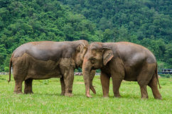 wild elefant Royaltyfria Foton