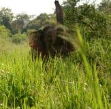 wild elefant Arkivfoto