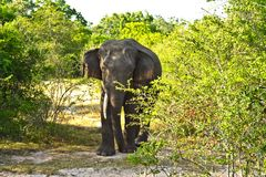 Wild elefant in the Jungle Royalty Free Stock Images