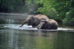 wild elefanter Royaltyfri Fotografi