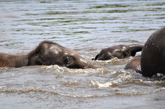 wild elefanter Arkivbilder
