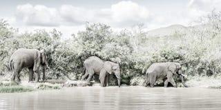 wild elefanter arkivfoto