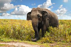 Wild elephant Stock Photography