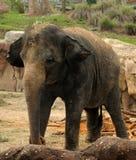 Wild elephant Royalty Free Stock Photography
