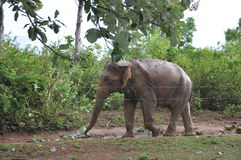 Wild Elephant Stock Images