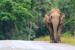 Wild elephant Stock Photos