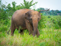 Wild elephant Stock Images
